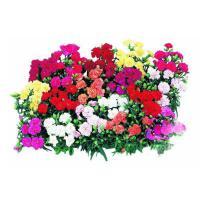 康乃馨种子四季易种易活开花不断花种子室内外阳台盆栽花卉包成活