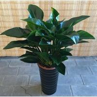 植物室内四季常青盆栽吸甲醛办公室绿植花卉万年青绿萝大叶 红钻50-60厘米左右