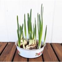 水培盆栽四季植物阳台室内水养绿植桌面迷你花卉小盆景喜阴办公室