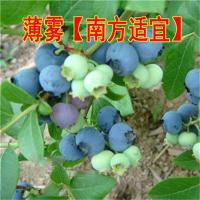 果树苗盆栽蓝莓苗南方北方种植蓝莓树苗庭院蓝莓树果苗当年结果 50cm(含)-60cm(不含)