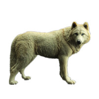 大号儿童礼物仿真动物园模型玩具野生动物世界大灰狼草原狼王