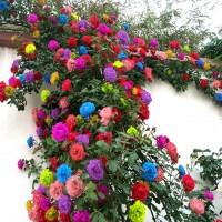 四季开花七彩蔷薇花苗室内外爬藤绿植物藤本月季玫瑰花苗盆栽花