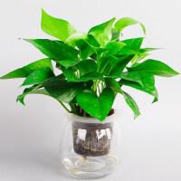 L青叶常春藤发财树水培植物绿植室内绿植花卉盆栽办公室桌面绿植 q8o