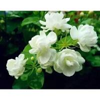 茉莉花苗 阳台桌面 四季庭院芳香花卉小盆栽绿植室内空气进化植物 默认1