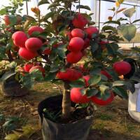 嫁接苹果树苗盆栽地栽庭院阳台室内室外苹果南方北方当年结果 40cm(含)-50cm(不含)