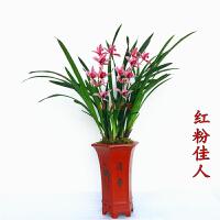 浓香型兰花苗建兰四季兰红花红粉佳人香妃不带花苞花卉室内种子 不含盆