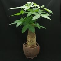 发财树盆栽小盆景大客厅植物室内花卉四季常青好养净化空气
