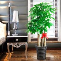 发财树 室内客厅花卉 绿植 大型盆栽 植物四季常青观叶植物