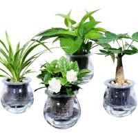 绿萝栀子花发财树常春藤文竹室内水培绿色小植物净化空气盆栽绿植q8r