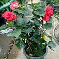 扶桑花苗 盆栽 绿植大花重瓣朱槿牡丹四季带花扶桑牡丹芙蓉花室内 不含盆