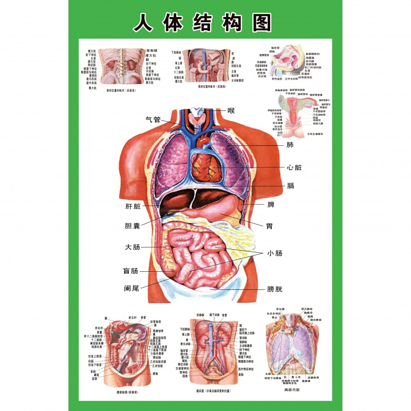 人体内脏解剖示意图医学宣传挂图*心脏结构图医院海报_40寸,40寸 发货周期:一般在付款后2-90天左右发货,具体发货时间请以与客服协商的时间为准