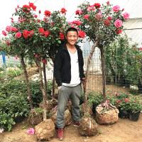 月季树桩树状月季树苗嫁接花苗室内庭院盆栽植物四季开花浓香花卉 不含盆