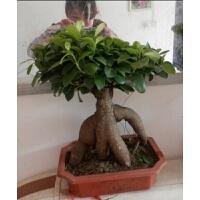 橘生 小榕树盆栽办公室内小盆景绿植桌面植物组合盆栽花卉 不含盆