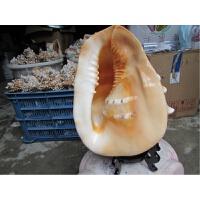 贝壳摆件螺海螺贝壳工艺品四大名螺家居收藏礼品