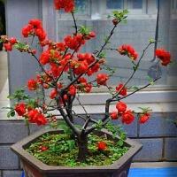 海棠盆景 室内盆栽海棠花苗 盆景 当年开花绿植花卉 不含盆