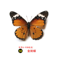 真蝴蝶标本完整真昆虫多品种透明袋装生物教学教具 金色 -金斑蝶056 其他正方形尺寸 独立