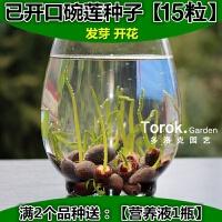 已开口碗莲种子水培植物卉绿植盆栽睡莲荷花种子水生花卉盆花