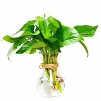 2019新品绿萝水培容器 欧式玻璃花瓶水培植物绿萝容器养花透明瓶子水生水养花卉器皿 中等