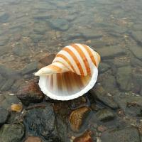 海螺贝壳鱼缸水族箱精美摆件卷贝鱼寄居蟹家居装饰琴螺大螺纪念品 7-8厘米左右