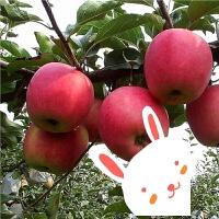 果树苗 矮化盆栽苹果树苗 庭院阳台栽植南方北方当年结果树苗嫁接 40cm(含)-50cm(不含)