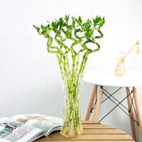 富贵竹水培植物转运竹室内办公室四季水生盆栽绿植花卉好运竹好养 送6个灯笼