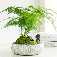 文竹盆栽绿植花卉植物苔藓微景观办公室内袖珍椰子树 含盆