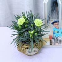 教师节礼物鲜花真花康乃馨盆栽带花苞石竹花苗室内阳台庭院绿植好养四季开花植物花卉