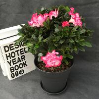 杜鹃花盆栽四季开花不断好养室内外花卉映山红杜鹃花盆景客厅植物