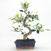 橘生 榕树虎皮花皮斑点榕树盆景盆栽四季常绿青 带盆栽好